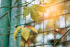 Leaves on steel fence. Royalty Free Stock Photos