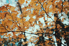 Dry leaves in autumn tree