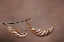 Dry leaves of Beach tree hanging on branch close up Stock Photography
