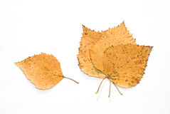 Dry leaves of a birch Stock Image