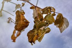 dry leaves on a blurred background in winter royalty free stock photo