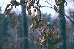 Dry Leaves on Branch Stock Photography