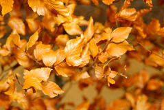 Dry leaves on a branch. Close up of dry leaves on a branch Royalty Free Stock Images