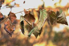 Dry leaves on the branches. Dry leaves photographed on the border near the town of Cacak Serbia Stock Images
