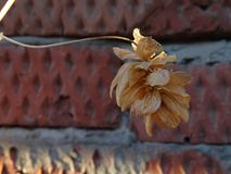 Dry leaves on the brick wall background Stock Photos