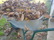 Dry leaves in the cart. At the garden Stock Photography