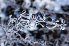 Dry leaves covered with hoarfrost. Nature background Royalty Free Stock Photos