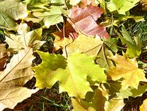 Dry leaves. Fallen dry colorful leaves under the tree stock photos