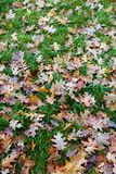 Dry leaves fallen on the ground with a green leaf Royalty Free Stock Images