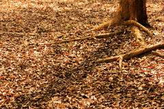 Dry leaves falling on the ground under the tree Stock Photography