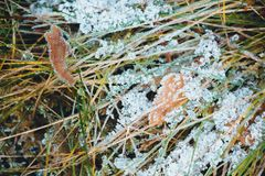 Dry leaves that fell from the tree to the grass, which began to turn yellow. All this is covered with hoar frost from a sharp cool. Ing in late autumn. The hoar stock images