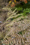 Dry leaves of the fern Stock Photos
