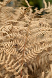 Dry leaves of the fern Stock Image
