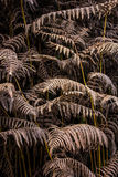 Dry leaves of the fern Royalty Free Stock Images
