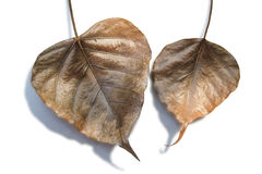 Dry leaves of a Ficus religiosa Stock Image