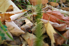 Dry leaves on foot Royalty Free Stock Image
