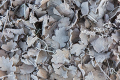 Dry leaves in frost Stock Images