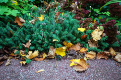Dry leaves in garden Royalty Free Stock Images