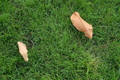 Dry leaves on grass. Background green space yard stock photo