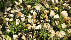 Dry leaves on grass Stock Images