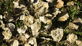 Dry leaves on grass Royalty Free Stock Photos