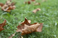 Dry leaves on the grass. Closeup of some dry leaves on the grass stock photo