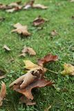 Dry leaves on the grass. Closeup of some dry leaves on the grass stock image