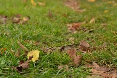 Dry leaves on green grass royalty free stock photo