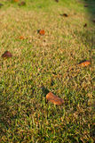 Dry leaves on green grass Stock Image