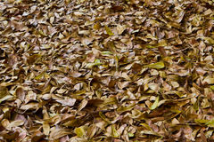 Dry leaves on the ground. Leaves covered ground color brown is beautiful Royalty Free Stock Photos