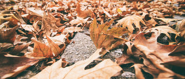 Dry leaves on the ground. Dry autumn leaves on the ground Royalty Free Stock Photo