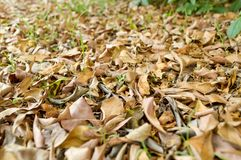 Dry leaves on ground. In autumn garden Royalty Free Stock Photo