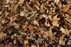 Dry leaves on the ground. Autumnal foliage on the ground Stock Images