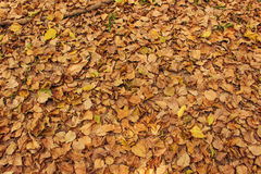 Dry leaves on the ground for background. A lot of yellow and orange dry leaves lying on the ground Royalty Free Stock Image