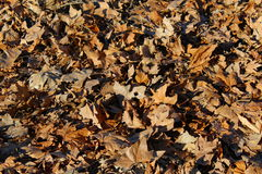 Dry leaves on the ground. Foliage on the ground sycamore Royalty Free Stock Images