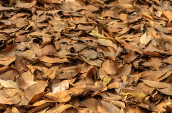 Dry leaves on the ground. Dry leaves  many mounds on the ground Stock Photo