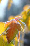 Dry leaves. Hoarfrost. Royalty Free Stock Photography