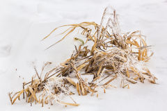 Dry leaves of irises in white frost Royalty Free Stock Photo