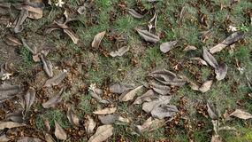 Dry leaves on the lawn. Dry leaves on the green lawn Royalty Free Stock Photo
