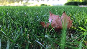 Dry leaves sway in green grass on windy day. Dry leaves lie down in green grass on windy day - slow motion, shot on mobile phone stock footage