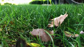 Dry leaves sway in green grass on windy day. Dry leaves lie down in green grass on windy day - slow motion, shot on mobile phone stock video