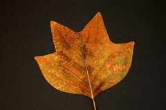 Dry leaf of maple from herbarium. Dry leaves of maple from herbarium of 1961.Maple leaf from herbarium of 1961nCollection of fauna. Collection of 1961 stock photos