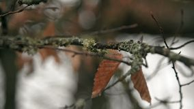 Dry leaves and moss on branches. Dry leaves and moss on branches in winter stock video footage