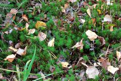 Dry leaves on moss Stock Photos
