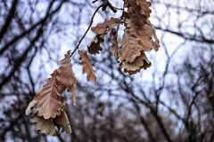 Dry leaves of oak. Royalty Free Stock Images