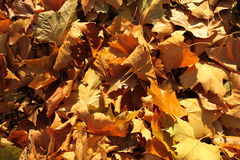 Dry leaves. Dry orange-brown leaves on the ground royalty free stock image