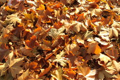 Dry leaves. Dry, orange-brown leaves on the ground stock image