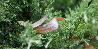 Dry leaves in pine tree Royalty Free Stock Photos