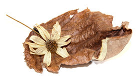 Dry  leaves of poplar with artichoke flowers Royalty Free Stock Images