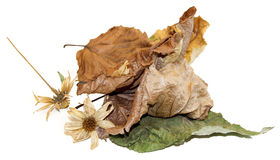 Dry  leaves of poplar with artichoke flowers Royalty Free Stock Photo